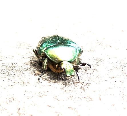 Bug, Goldglänzender Rosenkäfer