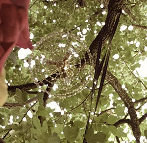 Feigenbaum, Kronleuchter, Pradiesli