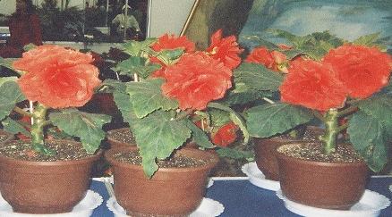 Kimjongilie, Begonie, Blumenschmuck