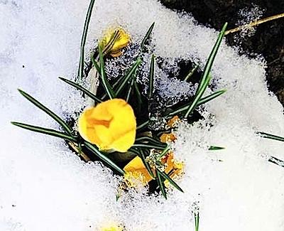 krokusse im schnee, krokus spring snow, primavera, printemps, frühhling im schnee